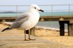 Zeemeeuw op een strand royalty-vrije stock afbeeldingen