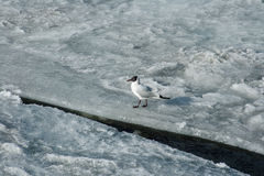 Zeemeeuw op gebroken ijs Stock Afbeelding