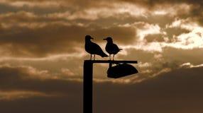 Zeemeeuw op gesilhouetteerde post, gouden zonsopgang, cala bona, Mallorca, Spanje stock foto's
