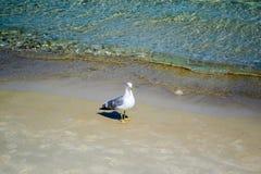 Zeemeeuw op Gouden Strand in Thassos stock afbeeldingen