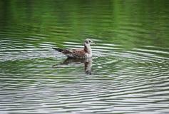 Zeemeeuw op groen water van een bosmeer royalty-vrije stock afbeelding