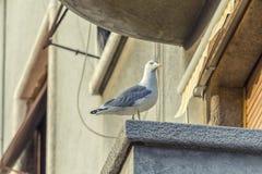 Zeemeeuw op het balkon Stock Afbeelding