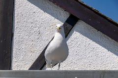 Zeemeeuw op het dak van een huis wordt neergestreken dat stock afbeeldingen