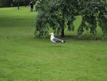 Zeemeeuw op het gras Royalty-vrije Stock Afbeeldingen