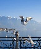 Zeemeeuw op het meer van Genève Royalty-vrije Stock Foto's