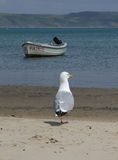 Zeemeeuw op het strand Stock Afbeelding