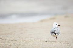 Zeemeeuw op het strand Stock Afbeeldingen