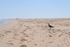 Zeemeeuw op het strand Stock Foto's
