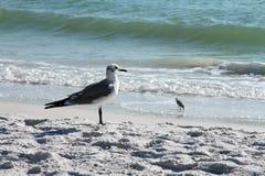 Zeemeeuw op het Strand in Florida stock afbeeldingen