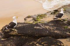 Zeemeeuw op het strand Gaivota Royalty-vrije Stock Afbeeldingen