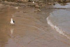 Zeemeeuw op het strand Gaivota Stock Afbeelding