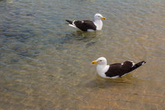 Zeemeeuw op het strand Gaivota Stock Foto