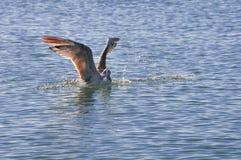 Zeemeeuw op het water Stock Afbeeldingen