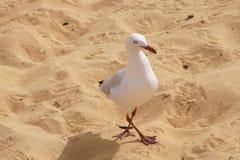 Zeemeeuw op het zand Stock Foto's