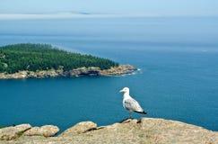 Zeemeeuw op rots, het Nationale Park van Acadia, Maine wordt neergestreken dat royalty-vrije stock afbeelding