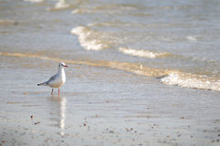 Zeemeeuw op strand Stock Foto's