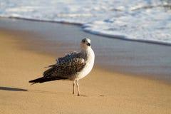Zeemeeuw op strand Stock Fotografie