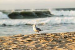 Zeemeeuw op strand met ruwe branding op achtergrond Royalty-vrije Stock Foto