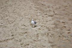 Zeemeeuw op zandig strand stock fotografie