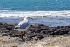 Zeemeeuw - Port Fairy stock fotografie