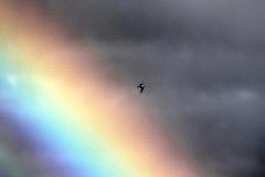 Zeemeeuw in regenboog Stock Afbeeldingen