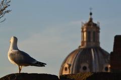 Zeemeeuw in Rome stock foto