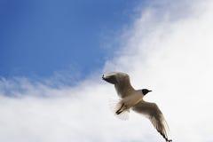 Zeemeeuw tegen de achtergrond van de hemel Royalty-vrije Stock Fotografie