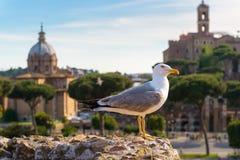Zeemeeuw tegen de achtergrond van Roman Forum in Rome Royalty-vrije Stock Afbeelding