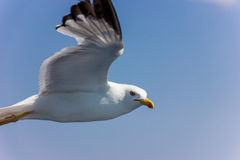 Zeemeeuw tijdens de vlucht Royalty-vrije Stock Afbeeldingen