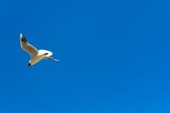 Zeemeeuw tijdens de vlucht Royalty-vrije Stock Foto's