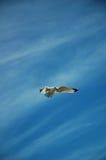 Zeemeeuw tijdens de vlucht Stock Afbeeldingen
