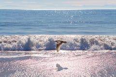 Zeemeeuw tijdens de vlucht bij het Strand Royalty-vrije Stock Afbeeldingen