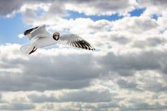 Zeemeeuw tijdens de vlucht tegen bewolkte hemel stock afbeelding