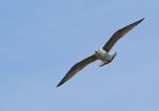 Zeemeeuw, tijdens de vlucht Uitgespreide Vleugels Royalty-vrije Stock Afbeelding