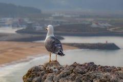Zeemeeuw van Nazaré van Portugal stock foto