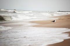Zeemeeuw in Virginia Beach stock afbeelding