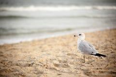 Zeemeeuw in Virginia Beach Stock Fotografie