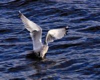 Zeemeeuw visserij Royalty-vrije Stock Foto's
