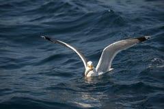 Zeemeeuw visserij Royalty-vrije Stock Afbeeldingen
