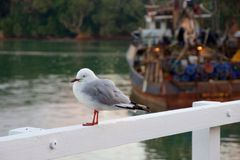 Zeemeeuw, vissersboot bij Mangonui-Werf, de zomerochtend, Nieuw Zeeland Royalty-vrije Stock Afbeelding