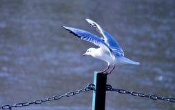 Zeemeeuw witte vogel die vlucht van een pijler met binnen rivier opstijgen stock fotografie