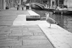 Zeemeeuw in zwart-wit Venetië royalty-vrije stock afbeelding