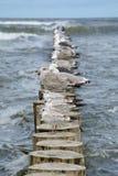 Zeemeeuwen bij de houten palissade bij Oostzee Royalty-vrije Stock Foto's