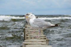 Zeemeeuwen bij de houten palissade bij Oostzee Stock Afbeeldingen