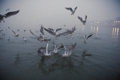 Zeemeeuwen bij de Rivier van Ganges stock foto