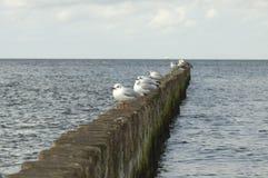 Zeemeeuwen bij het strand Stock Fotografie