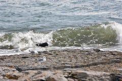 Zeemeeuwen binnen op het strand Stock Afbeeldingen