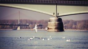Zeemeeuwen in de Rijn-rivier op een mooie dag in de herfst met bruggen op de achtergrond royalty-vrije stock fotografie