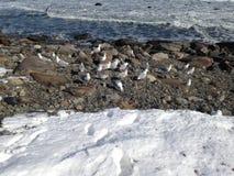 Zeemeeuwen in de winter stock foto