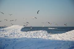 Zeemeeuwen in de winter Stock Foto's